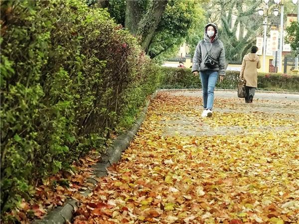 高清:桂林王城景区樟树落叶纷纷 成亮丽风景线