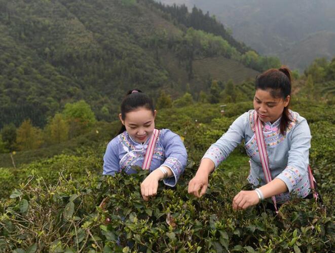 广西凌云:春茶飘香助增收