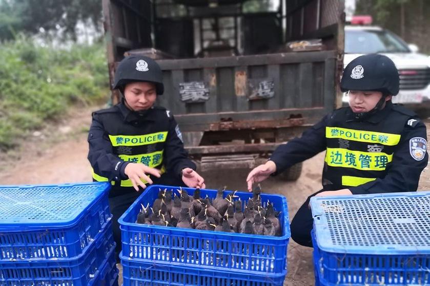 高清:崇左查獲自治區級野生保護鳥類八哥503只