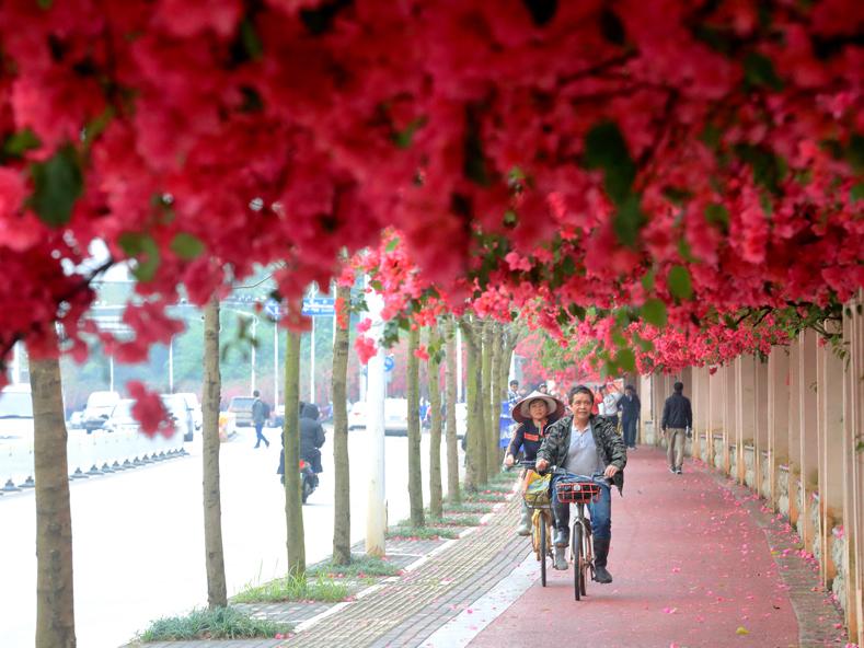7日焦点图:南宁街头巷尾三角梅等花卉进入盛花期