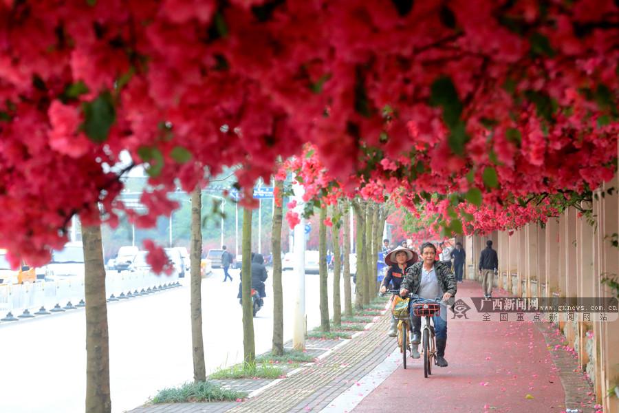 4月7日焦点图:南宁街头巷尾三角梅等花卉进入盛花期