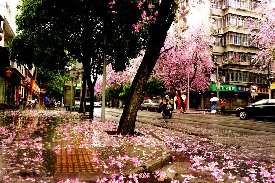 高清:紫荆花落花满城 龙城柳州变花的海洋