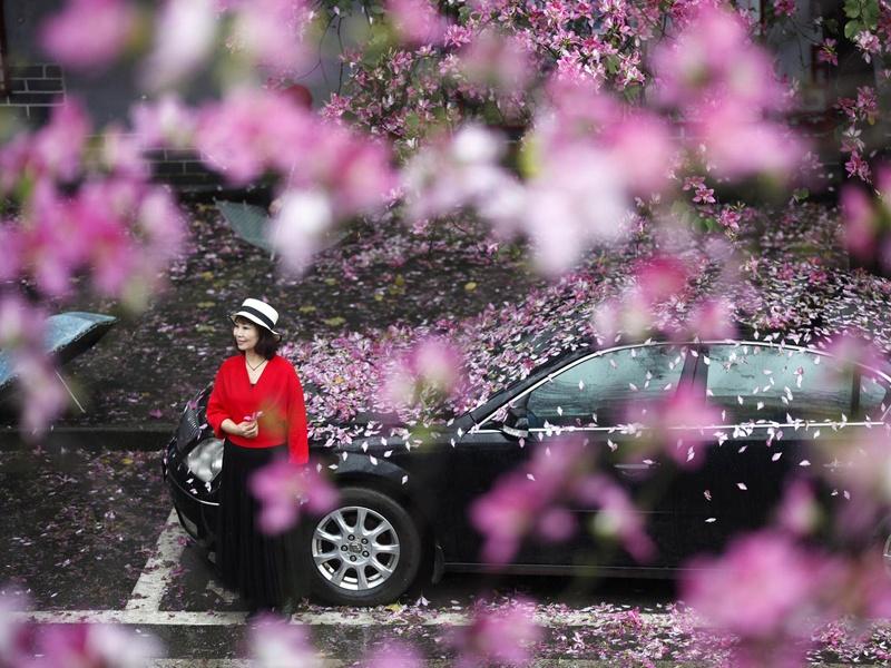 高清:洋紫荆花雨再度刷屏柳州人朋友圈