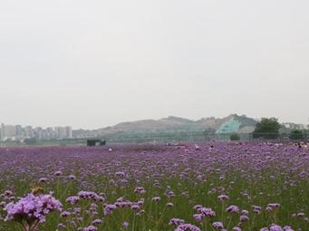 紫色花海 邕江岸边大片的马鞭草花季正旺(组图)