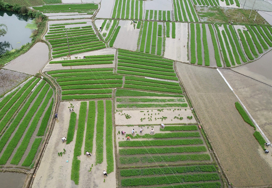 高清:谷雨到 罗城群众抓紧农时勤劳作
