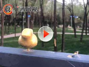 世园会金色小鸟被顺走 100余只仅剩17只