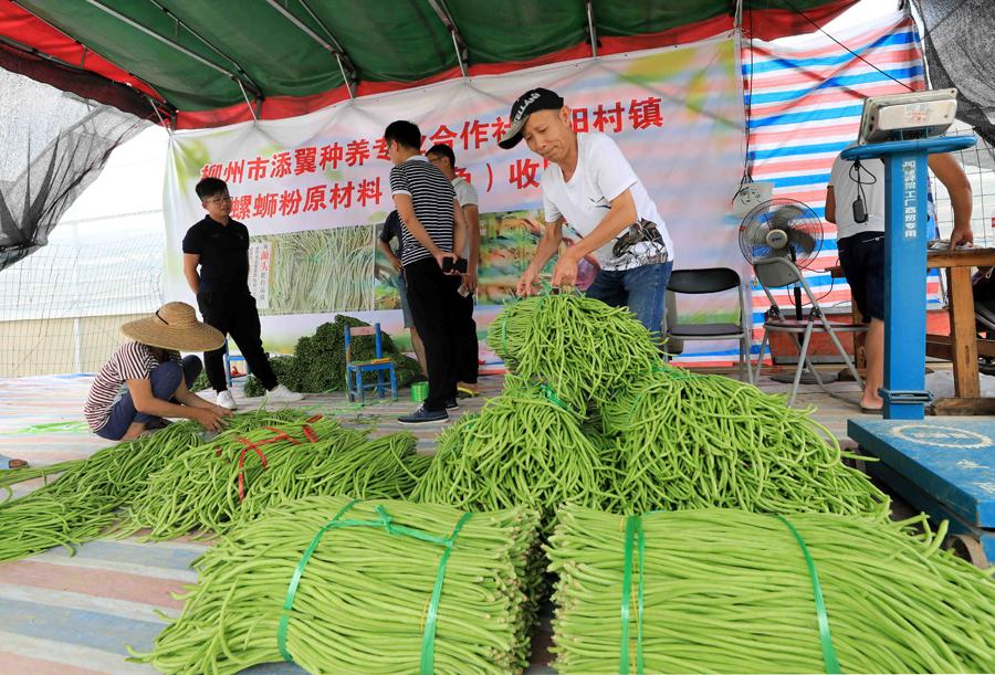 柳州柳南區群眾種植豆角助脫貧(組圖)