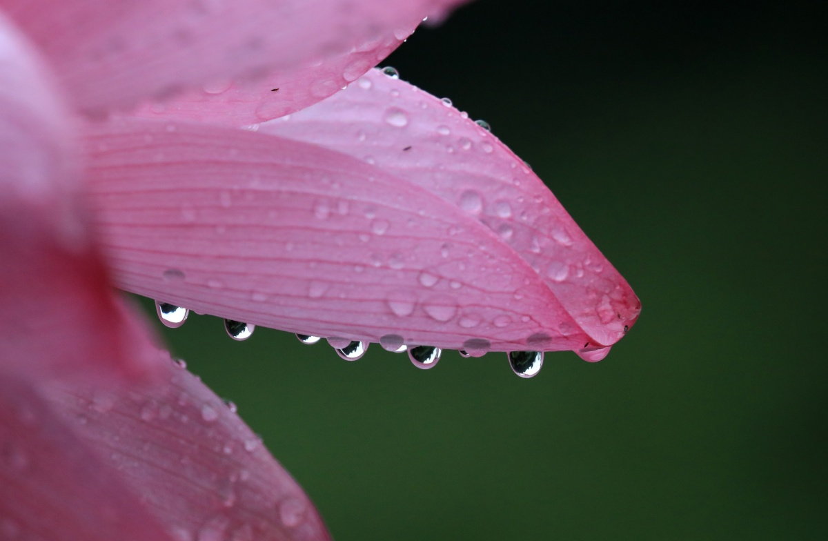雨潤荷花,爭奇斗艷 柳州這地方的荷花楚楚動人