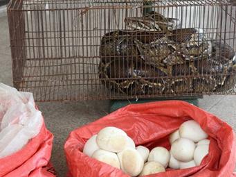 24日焦点图:乡村鸭棚现大蟒蛇 还生了一窝蛋