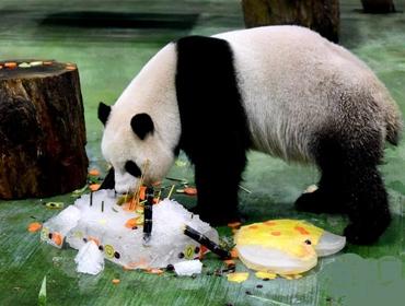 """台北:大熊猫""""圆仔""""迎来6岁生日"""