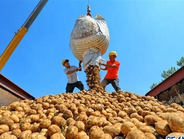 """河北滦南:""""订单土豆""""助农增收"""