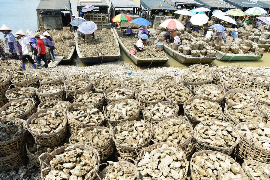 高清:北海合浦烟楼大蚝每天上岸约15万公斤