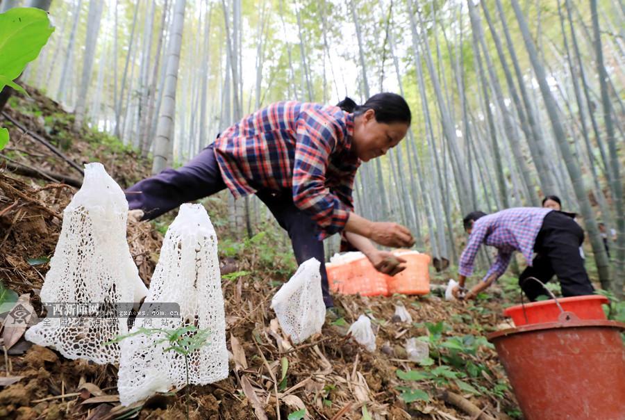 高清:广西融安农民种植竹荪助脱贫