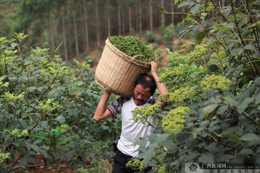 邕宁区:吴茱萸香飘满天 农民丰收笑开颜