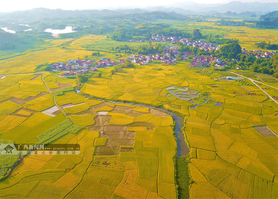 高清组图:罗城富硒水稻成熟 田园如画