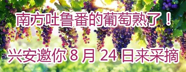 南方吐鲁番的葡萄熟了!兴安邀你8月24日来采摘