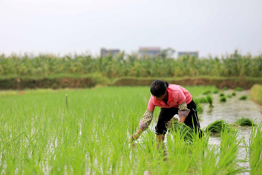 """融安:""""立秋""""时节 农民抢种第二季优质水稻(图)"""