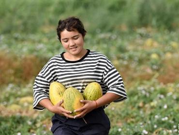 新疆瓜果飘香季 伽师瓜火热上市