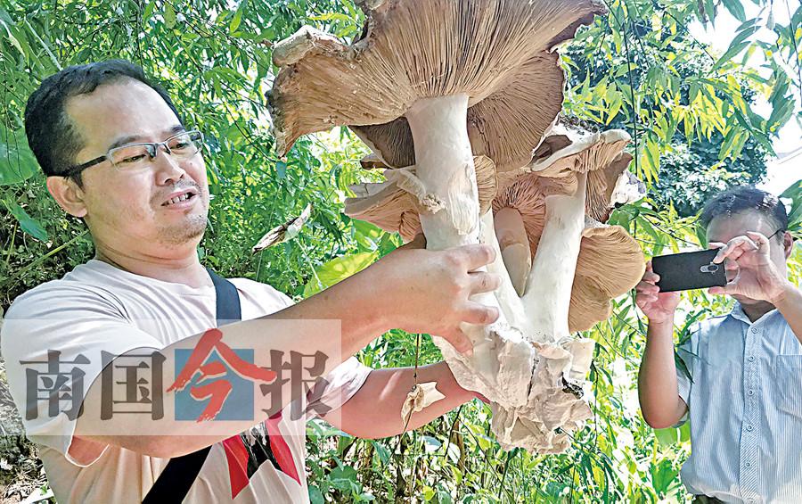 8月16日焦点图:柳州惊现巨型怪蘑菇 直径超过1米