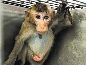 廣西近10年來首次獲批入境的食蟹猴順利抵邕(圖)