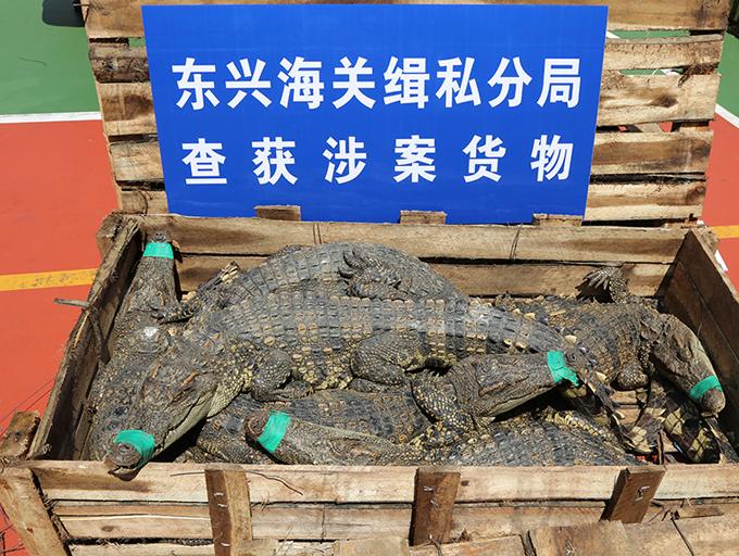 南寧海關破獲一起重大走私鱷魚案 成功解救活體暹羅鱷806條