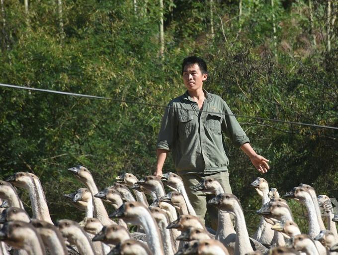 致富带头人杨光裕:大学生回乡创办养鹅基地 年收入30万元