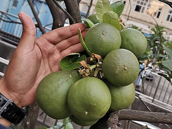 10月31日焦点图:奇!一棵柚子树结出两种果