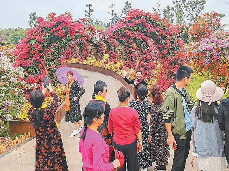 11月2日焦点图:青秀山叶子花盛开 正是最佳赏花期