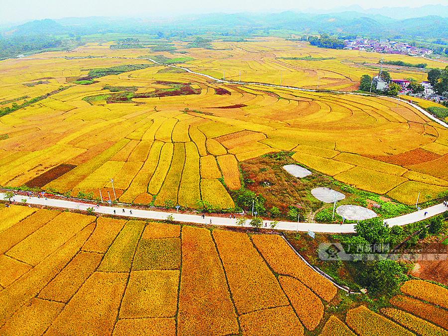 来宾:稻花香里庆丰年