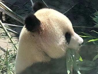 国家林草局熊猫中心将赠予广西首对大熊猫(组图)