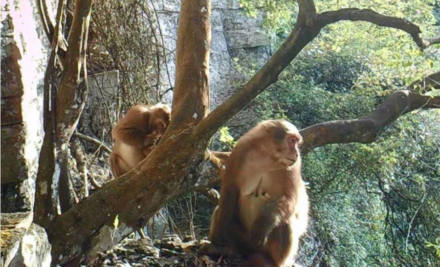 11月24日焦点图:南宁大明山首次监测到国家一级保护动物熊猴