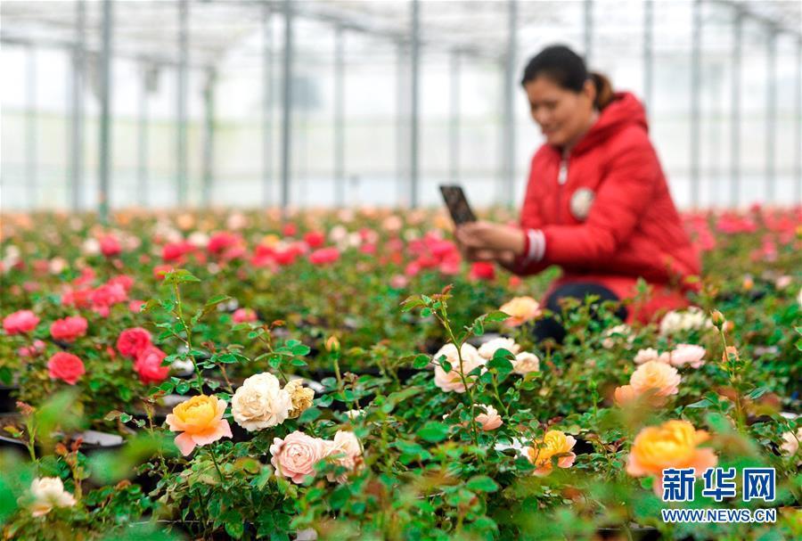 河北肥乡:花卉苗木助力乡村振兴