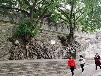 美观与隐患并存 南宁这几棵大榕树何去何从?(图)