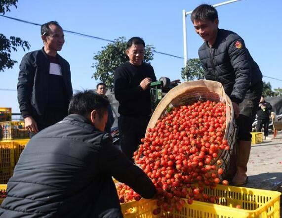 """广西""""南菜园""""秋冬菜进入收获季"""