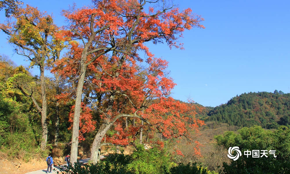 柳州融安:阳光正好 枫叶正红(组图)