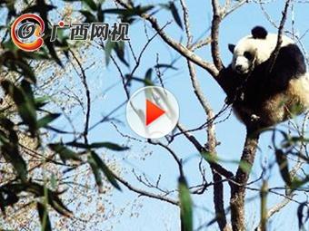四川绵阳地震 熊猫扔下竹子瞬间上树