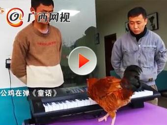 """雞中""""鋼琴家""""!這只公雞會彈《童話》"""
