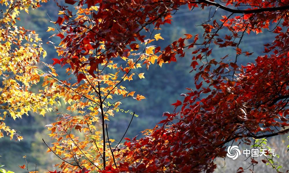 高清組圖:廣西德保楓葉五彩斑斕 猶如秋色油畫