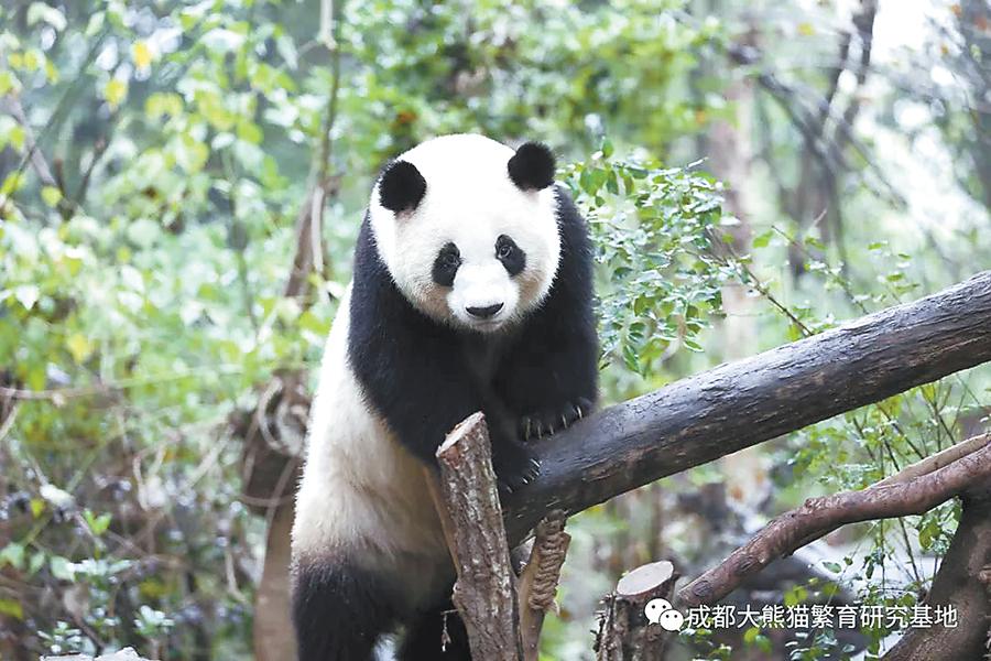"""12月14日焦点图:大熊猫""""绩美""""和""""绩兰""""到达南宁"""