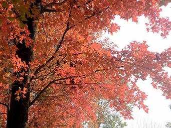 柳州:马鹿山公园枫香树迎最佳观赏期