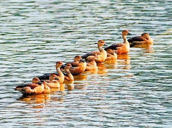 1月4日焦點圖:栗樹鴨成群現身南寧南湖公園