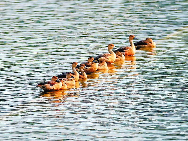 1月4日焦点图:栗树鸭成群现身南宁南湖公园