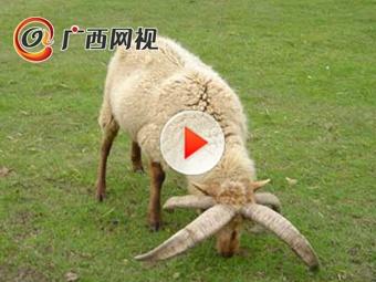 拥有四只角的山羊你见过吗?