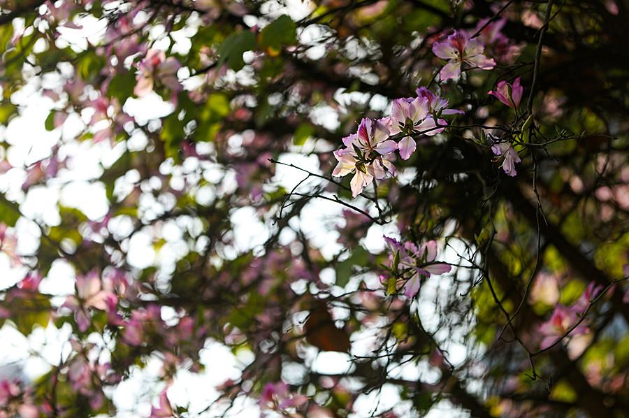 高清图集:柳州紫荆花开 芒果挂果