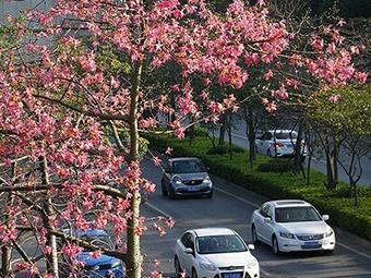 """1月14日焦点图:绿树红花""""点缀""""南宁冬天"""