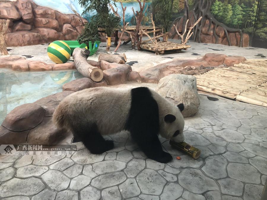 """高清:南宁动物园大熊猫""""绩美""""、""""绩兰""""见客啦"""