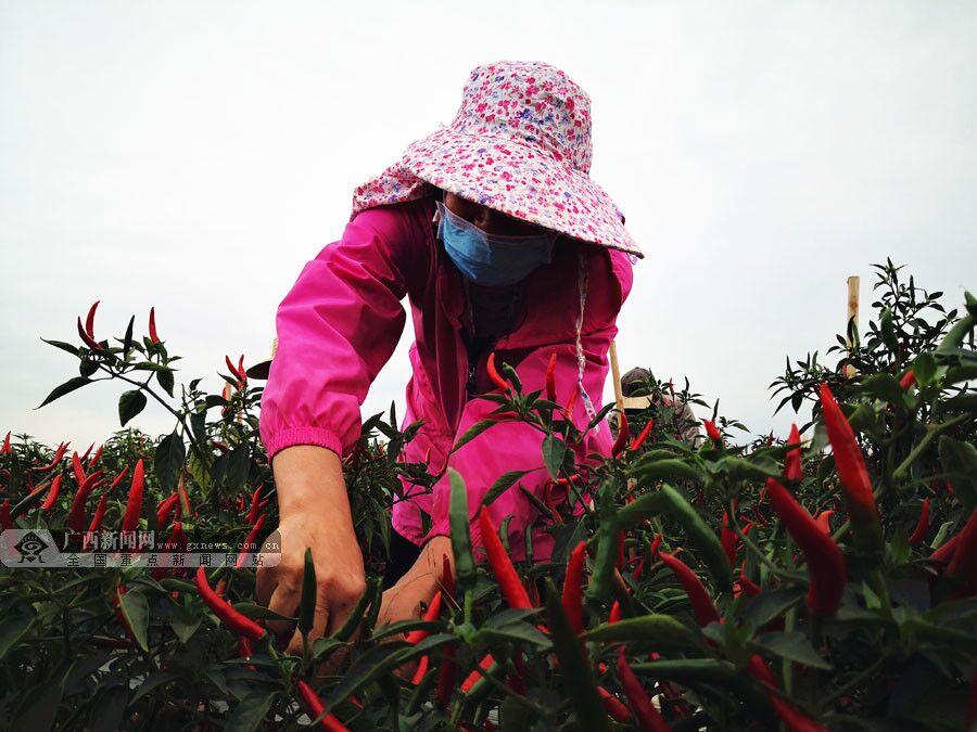 """梧州市平浪村:特色农业""""红火火""""防疫生产两手抓"""