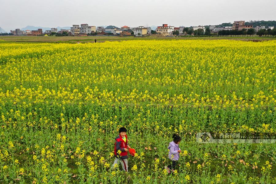 广西桂林:油菜花开美如画