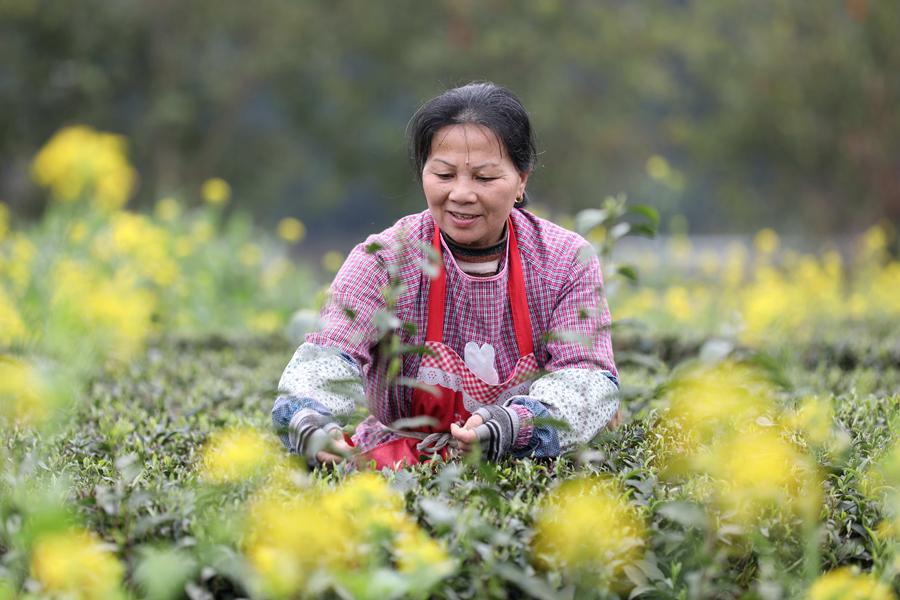 广西三江:春暖茶乡采茶忙