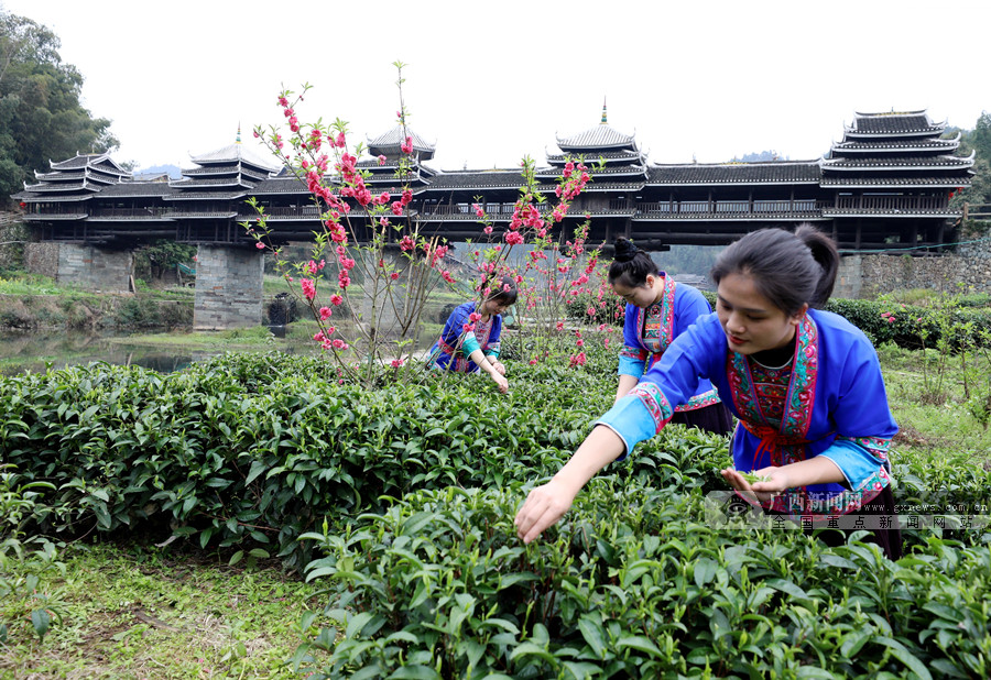 廣西三江:春茶飄香助增收
